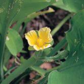 Limnocharis flower