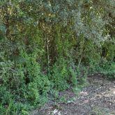 Bridal creeper smothering native plants