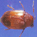 Queensland pine beetle