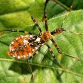 A mottled orange insect. It resembles the adult, but is paler and has a shorter, wingless abdomen.