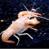 Red swamp crayfish with characteristic long claws in aquarium setting