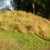 African fountain grass infestation
