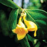 Badhara bush flower