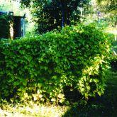 Mikania plant form