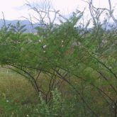 Mimosa pigra plant form