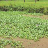 Water hyacinth infestation