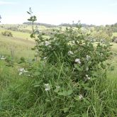 Blackberry infestation