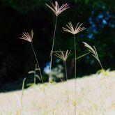 Rhodes grass plant form