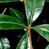 Yellow allamanda leaf