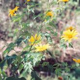 Japanese sunflower leaves and flowers