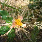 Hudson pear brown-spined flower