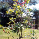 Ochna plant
