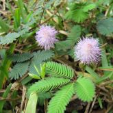Common sensitive plant in lawn