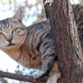 Feral cat in tree