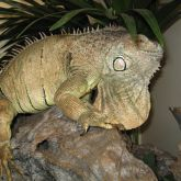 Green iguana prominent dewlap