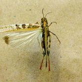 Australian plague locust wing