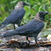 Indian house crows
