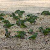 Monk parakeet flock
