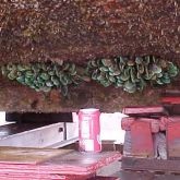 Asian green mussels on hull