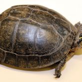 South East Asian box turtle shell