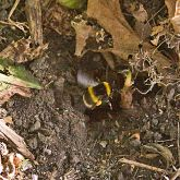 Large earth bumblebee with underground nest