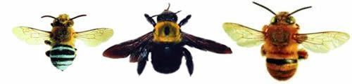 Other bees often confused with large earth bumble bees