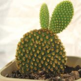 Potted bunny ears