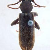 Male Chinese longhorned beetle