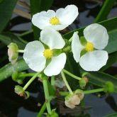 Sagittaria platyphylla flowers