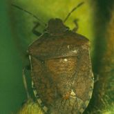 Brown shield-shaped bug
