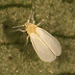 Adult greenhouse whitefly