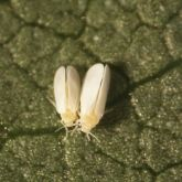 Small insects with yellow bodies and white wings