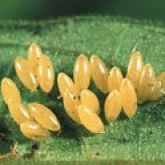 Many oval orange eggs attached to a leaf.