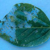 Skeletonised areas on leaf