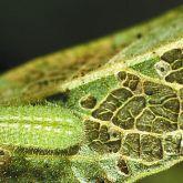 Long, pale green slug-like larva