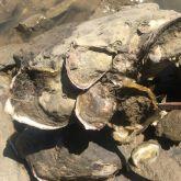 Black scar oysters growing on a rock