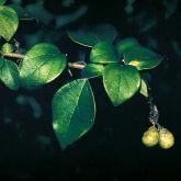 Badhara bush leaves and fruit