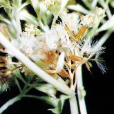 Mikania seedling