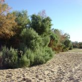 Athel pine spread along a sandy bank