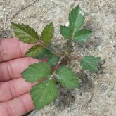 Blackberry seedling