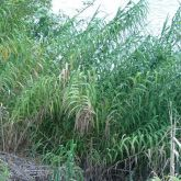 Giant reed plant