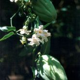 White moth vine fruit and flowers