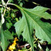 Japanese sunflower leaves