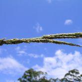 Giant Parramatta grass seedhead