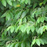 Piper bush