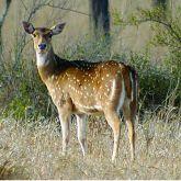 Feral chital deer