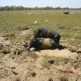 Feral pigs in mud