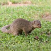 Indian mongoose side-on