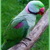 Indian ringneck parrot | Business Queensland