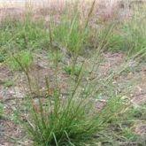 American rat's tail grass habit